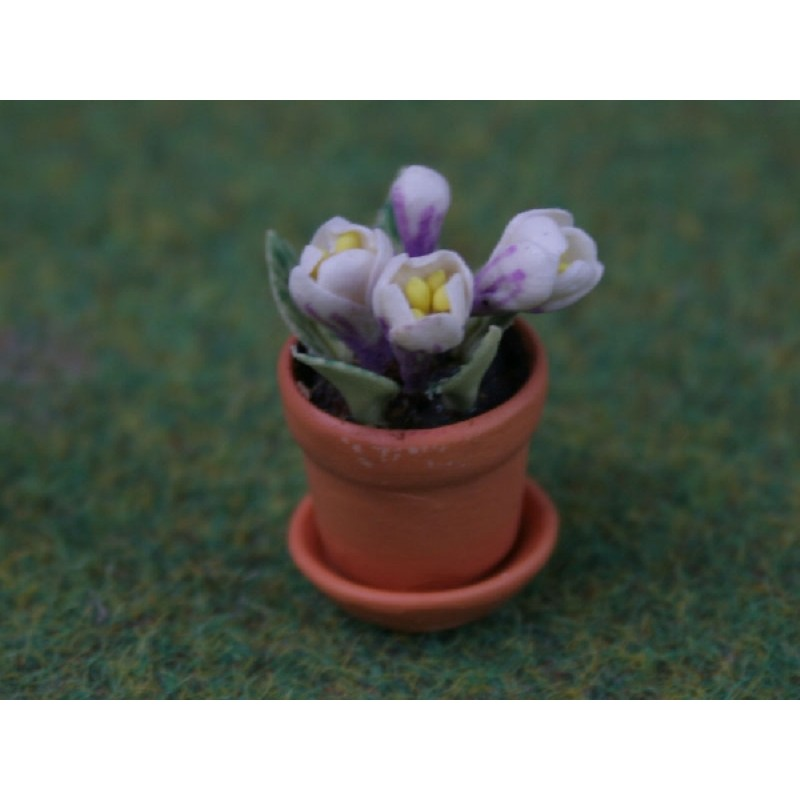 Crocus in a Pot